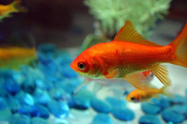 Alimento para Goldfish