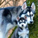alimento para perros husky