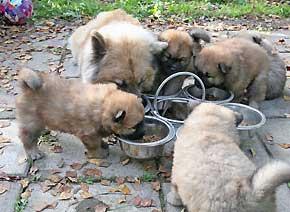 alimentos para cachorros casera