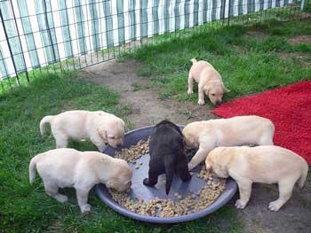 comida para cachorros casera